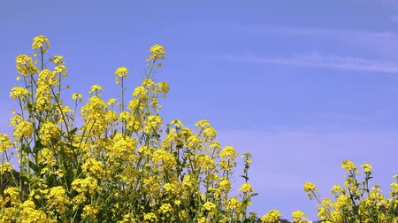 Rape blossoms in full bloom
