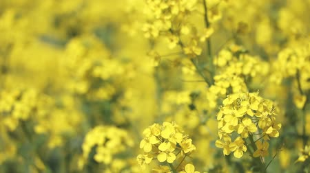 shaking wind : Rape blossoms in full bloom