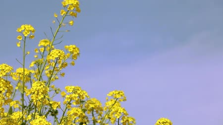 강간 : Rape blossoms in full bloom
