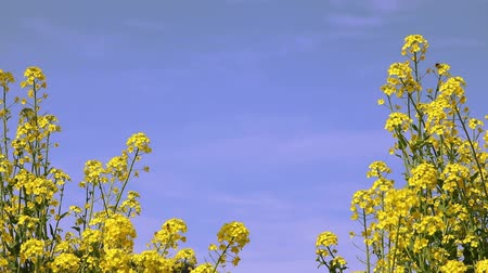 sallama : Rape blossoms in full bloom