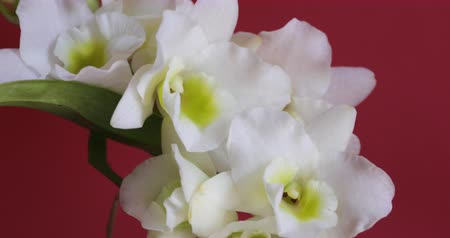 orchidea : Orchid plant with white florescences and buds. White orchid flowers, on a red background.