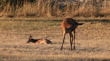 олененок : A small wild fawn rests stretched out on the prairie, together with its mother in an outdoor countryside area. Wild deer in the wild.