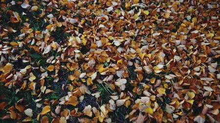 brilliant fall foliage : Autumn leaves on the floor in the park