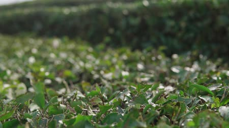 emek : close up shot of the bushes of black or green tea, the plants are neatly cut and are at peak flowering in the daytime