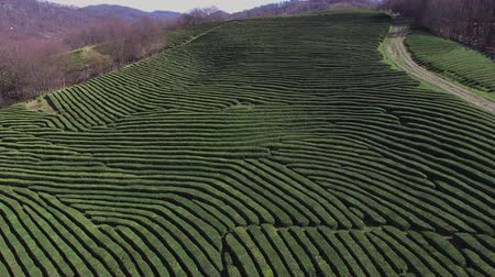 склон холма : a view from above on the bushes of black or green tea, the plants are neatly cut and planted close to each other, forming even and rectangular strips Стоковые видеозаписи
