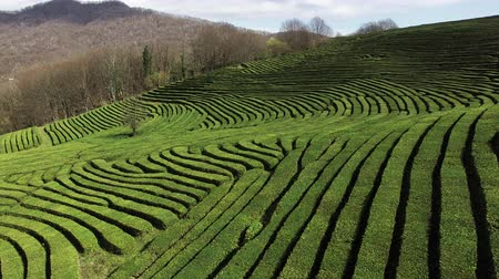 seçkinler : a view from above on the relief territory with green planted tea fields, tea bushes grow with a hill, a tasty and elite drink will be collected in the summer