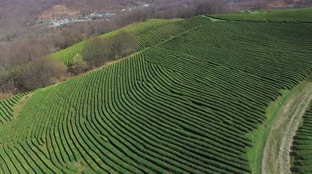 subsistence : a view from above on the relief green territory with planted tea fields, tea bushes grow up a hill, soon the grass will be collected manually Stock Footage