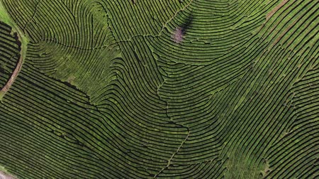subsistence : a view from above on the relief green territory, tea fields grow, soon people will collect leaves for brewing a drink Stock Footage