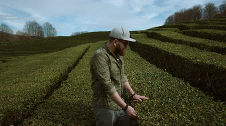 subsistence : a young man examines green tea planations, a bearded gentleman stands among the low bushes in the daytime, people enjoy nature Stock Footage