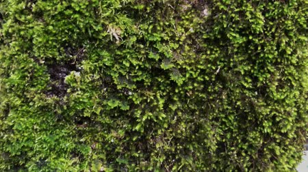 liken : Close up shot of a rock fully covered with moss and leafs outdoor. Bright and beautiful nature. Forests. Stok Video