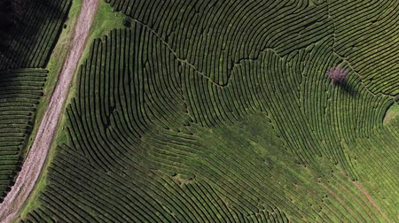 сельскохозяйственный : Beautiful shooting of tea plantation from the drone in mountains. Gigantic maze of bushes. Natural plants.
