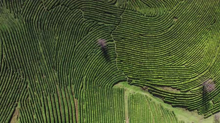 labirent : Shot from the drone flying above tea plantation on mountains. Rotating above gigantic maze of bushes.