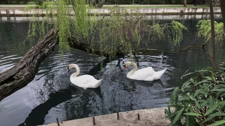 лебедь : Beautiful shoot of two beautiful whire swans swimming in pond in park under the sun. Swimming near log. Biting leaves.