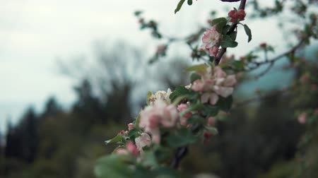rural area : close up shot of the bud of a tree, a pink flower appeared on the tree in the spring time, during flowering foliage, on the branch there are green leaves Stock Footage