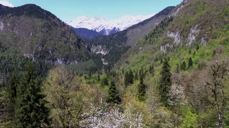 remote location : Aerial view of landscape with snowy mounts in distance. Forest with many old huge spruces below, sunny weather in national park