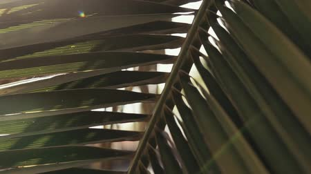 хлорофилл : close up shot of a large and green leaf of a palm tree, through the leaves of the plant you can see the sun that fills the leaves with chlorophyll Стоковые видеозаписи