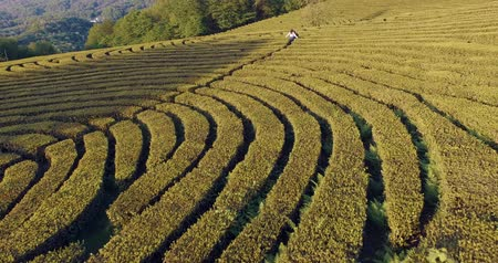 the azores : Fast flying drone shooting young girl running between bushes of a field maze. Lovely woman enjoying landforms in summertime. Stock Footage
