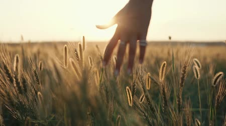 evening sun : Close-up shot of a womans hands with beautiful manicure and silver rings slightly touching wheats ears in open field, enjoying time in nature.