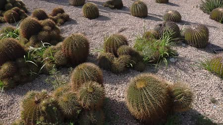 botanik : Many cactus are sprouting in dry ground of desert in sunny day, detail view. Botanical garden with exotic plants in natural conditions Stok Video