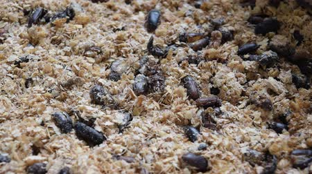 chrysalis : Mealworm bug insect is a food for bird and fish