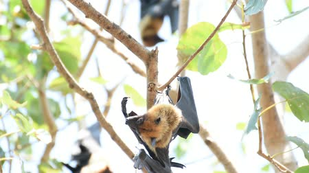 pteropus : Bat (Lyles flying fox, Pteropus lylei or Pteropodidae) perched hanging on a tree in the wild Stock Footage