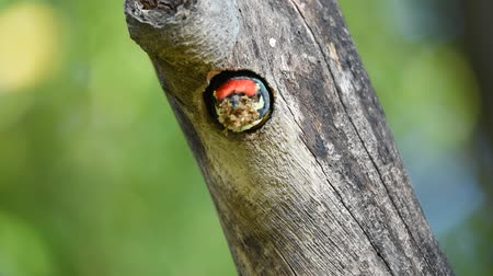coppersmith barbet : Bird (Coppersmith barbet) in hollow tree trunk Stock Footage