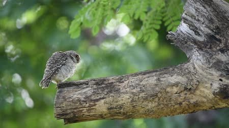 sowa : Bird (Spotted owlet, Owl) brown color perched on a tree in the garden Wideo