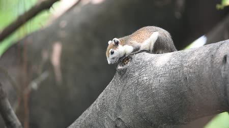 sciuridae : Squirrel is mammal animal and member of the family Sciuridae brown color on a tree in the nature wild