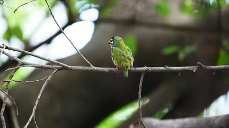 coppersmith barbet : Bird (Coppersmith barbet, Crimson-breasted barbet, Coppersmith, Megalaima haemacephala) yellow color perched on a tree in a wild