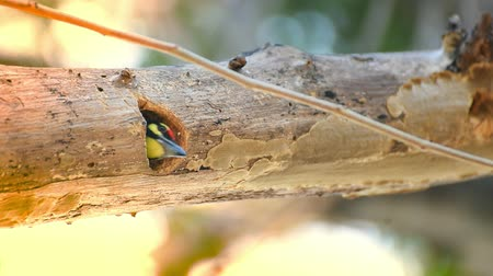 coppersmith barbet : Bird (Coppersmith barbet, Crimson-breasted barbet, Coppersmith, Megalaima haemacephala) yellow, green and red color perched at hollow tree trunk in a nature wild