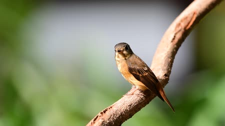 en az : Bird (Ferruginous Flycatcher, Muscicapa ferruginea) brown sugar, orange and red color perched on a tree in a nature wild, Distribution Uncommon