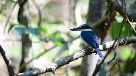 caça : Bird (Collared kingfisher, White-collared kingfisher) blue color and white collar around the neck perched on a tree in a nature mangrove wild