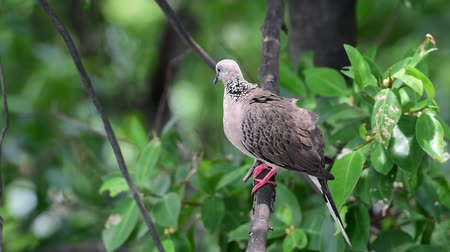 rock dove : Bird (Pigeon, Dove or Disambiguation) Pigeons and doves are likely the most common birds in the world perched on a tree in a nature mangrove wild Stock Footage