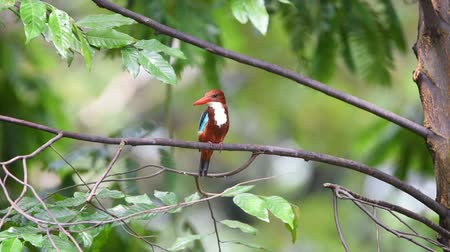 Bird (White-throated Kingfisher, Halcyon smyrnensis) bright blue, back wings tail, head, shoulders chestnut throat and breast are white, bill and legs are bright red perched on a tree in a nature wild