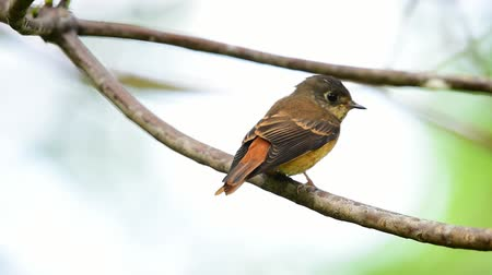 observação de aves : Bird (Ferruginous Flycatcher, Muscicapa ferruginea) brown sugar, orange and red color perched on a tree in a nature wild, Distribution Uncommon