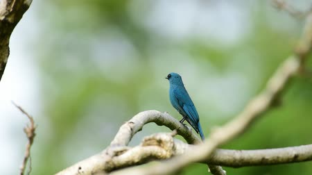 резидент : Bird (Verditer Flycatcher, Eumyias thalassinus) blue on all areas of the body, except for the black eye-patch and grey vent perched on a tree in a nature wild, Distribution Common