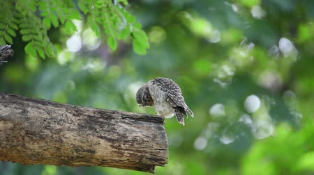 sowa : Bird (Spotted owlet, Athene brama, Owl) brown, black and white color perched on a tree in a nature wild