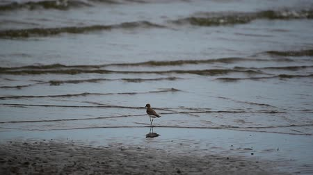 Bird (Greater sand plover, Charadrius leschenaultii) is a small wader in the plover family of birds at a sea in a nature wild Wideo