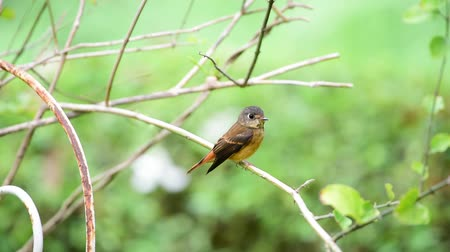 poleiro : Bird (Ferruginous Flycatcher, Muscicapa ferruginea) brown sugar, orange and red color perched on a tree in a nature wild, Distribution Uncommon