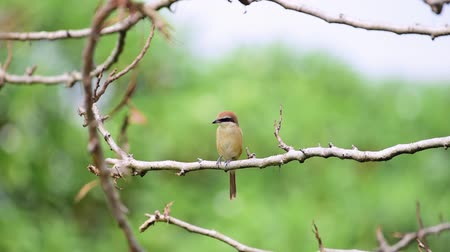 cristatus : Bird (Brown shrike, Lanius cristatus) mainly brown on the upper parts and the tail is rounded the black mask and has a white brow over it perched on a tree in a nature wild