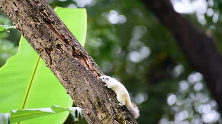 sciuridae : Squirrel is mammal animal and member of the family Sciuridae white color on a tree in the nature wild