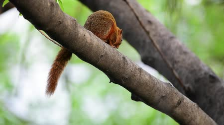sciuridae : Squirrel is mammal animal and member of the family Sciuridae red brown color on a tree in the nature wild