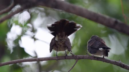 Bird (Malaysian Pied Fantail, Rhipidura javanica) black and white color perched and feeding to baby bird on a tree in a nature wild Wideo