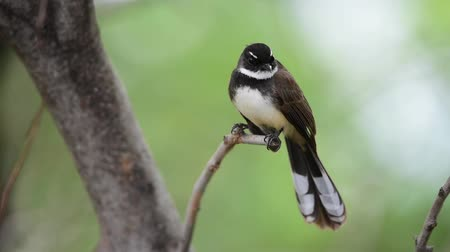 feathered : Bird (Malaysian Pied Fantail, Rhipidura javanica) black and white color perched on a tree in a nature wild