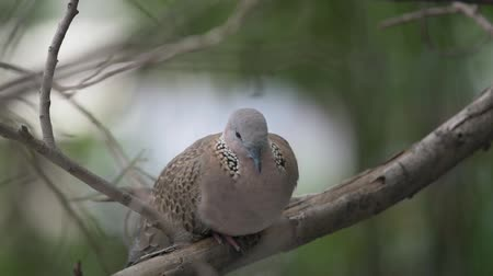 feathered : Bird (Dove, Pigeon or Disambiguation) Pigeons and doves perched on a tree in a nature wild