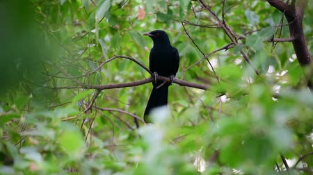 lesser : Bird (Asian koel, Eudynamys scolopaceus) male glossy bluish-black, with a pale greenish grey bill the iris is crimson, and it has grey legs and feet perched on a tree in a nature wild Stock Footage