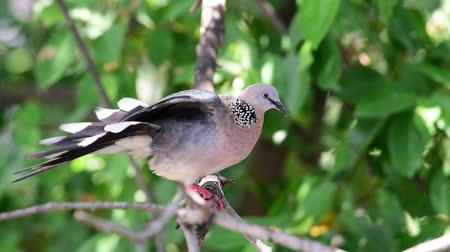 rock dove : Bird (Dove, Pigeon or Disambiguation) Pigeons and doves perched on a tree in a nature wild