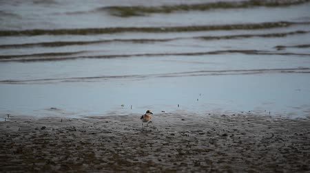 Bird (Greater sand plover, Charadrius leschenaultii) is a small wader in the plover family of birds at a sea in a nature wild Stock mozgókép
