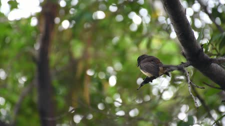 perching : Bird (Malaysian Pied Fantail, Rhipidura javanica) black and white color perched on a tree in a nature wild