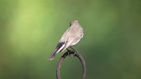 lesser : Bird (Red-throated Flycatcher, Taiga Flycatcher, Ficedula albicilla, Ficedula parva) brown above and white below, with a grey head and orange throat perched on a tree in the garden risk of extinction Stock Footage